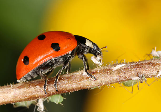Ladybug and aphids stock photo