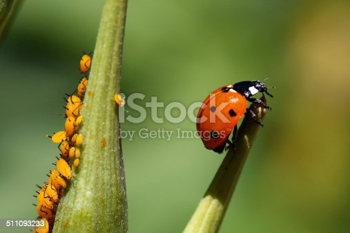A ladybug takes a rest on a milkweed seedpod as a colony of aphids feed on another seedpod.