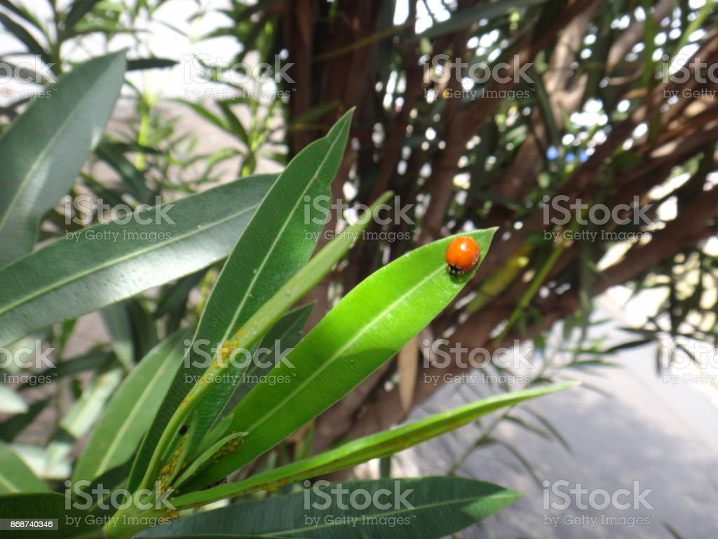 Ladybug and aphis in oleander plant stock photo