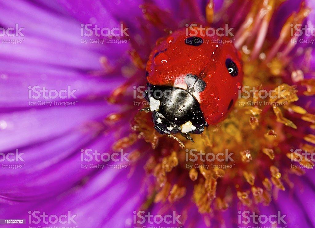 Ladybug and flower royalty-free stock photo