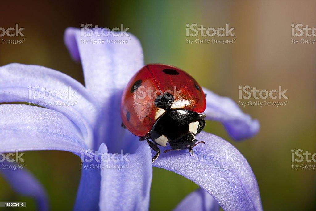 Ladybug and flower stock photo