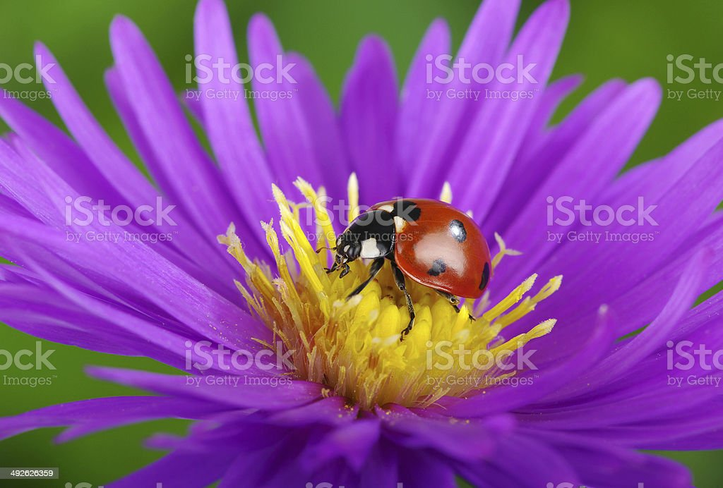 Ladybug and flower royalty-free stock photo