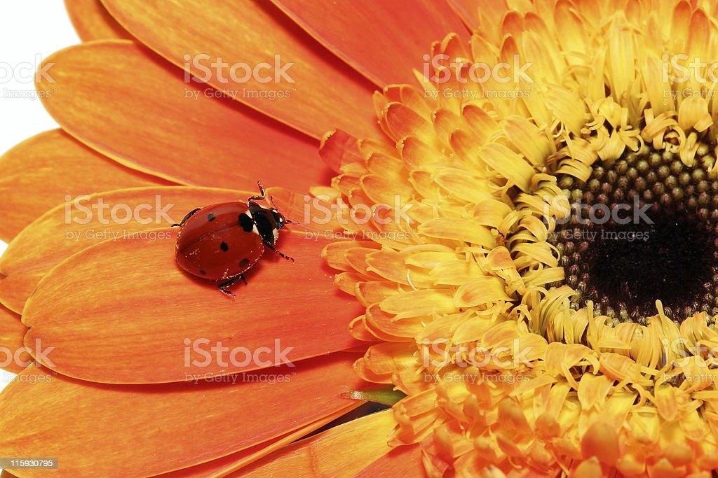 Ladybug and orange gerbera 01 royalty-free stock photo