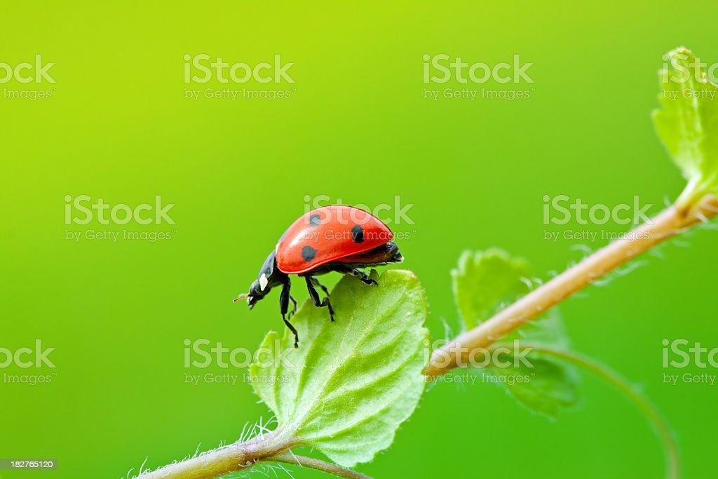 Ladybug and plant royalty-free stock photo