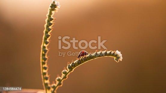 red ladybug crawls on the flower branch