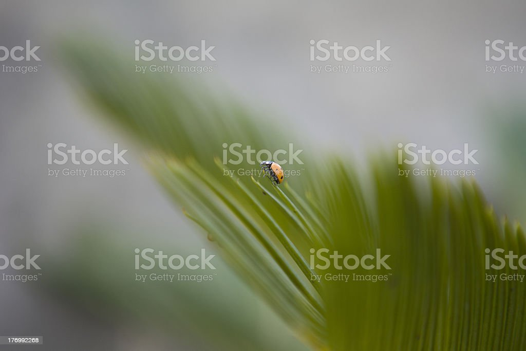 Ladybug at the tip of a spiny plant. royalty-free stock photo