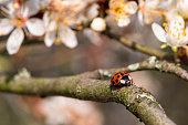 A ladybug beetle climbing on a flowering apple tree twig