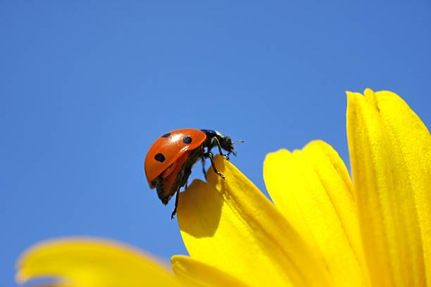 Ladybug Climbing on the Yellow Flower stock photo