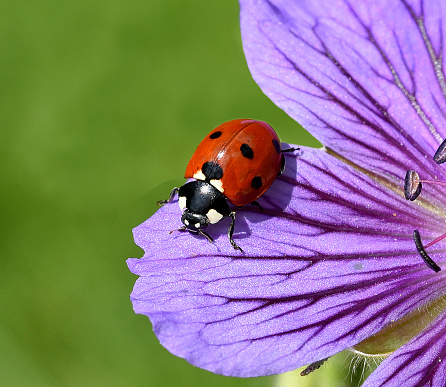 Ladybug; Coccinella; semptempunctata