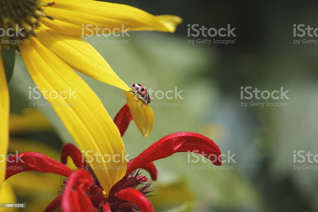 Ladybug, coneflower, bee balm royalty-free stock photo