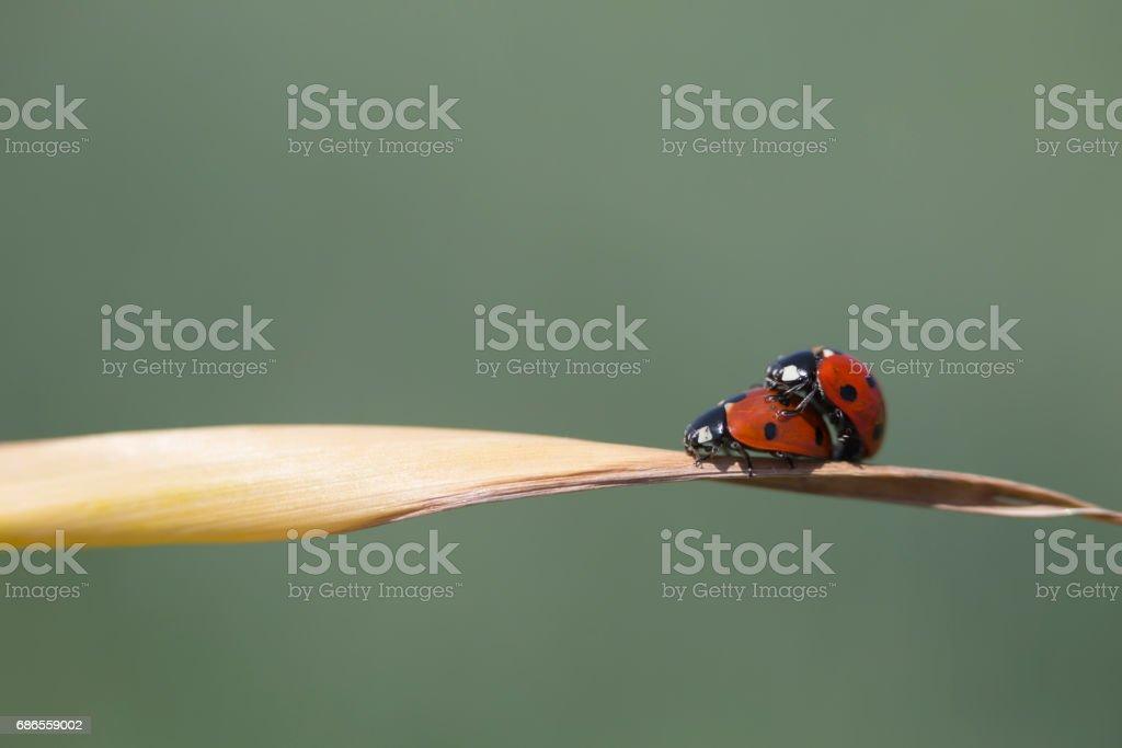 Ladybug copulation isolated on blade of grass. Close up photo. royalty-free stock photo