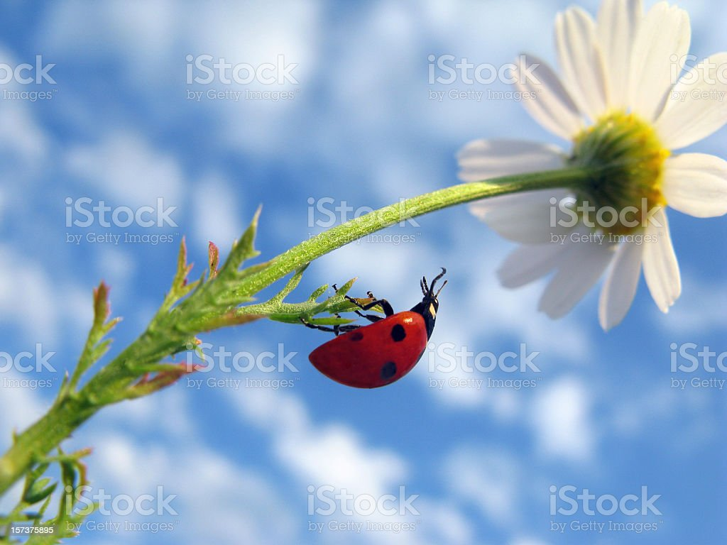 Ladybug Crawling on Daisy royalty-free stock photo