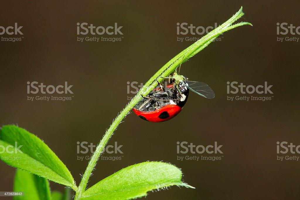 Ladybug Eating Aphid stock photo