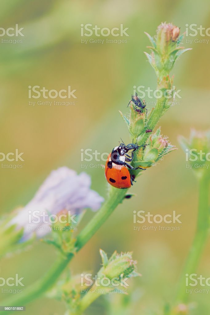 ladybug eating greenfly stock photo