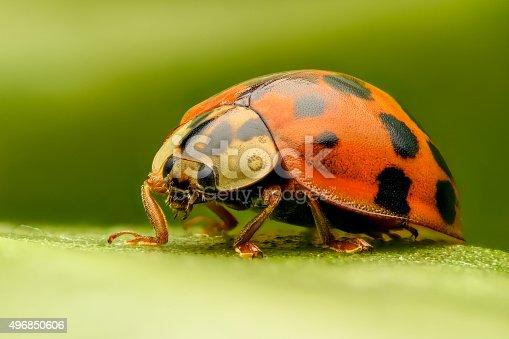 Ladybug extreme closeup