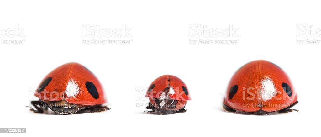 ladybug family Ladybird/Ladybugs series; Animal Stock Photo