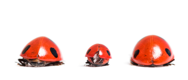 Ladybug Family Stock Photo - Download Image Now