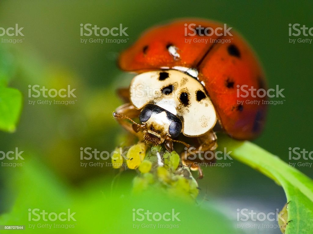 Ladybug feeds on aphids stock photo
