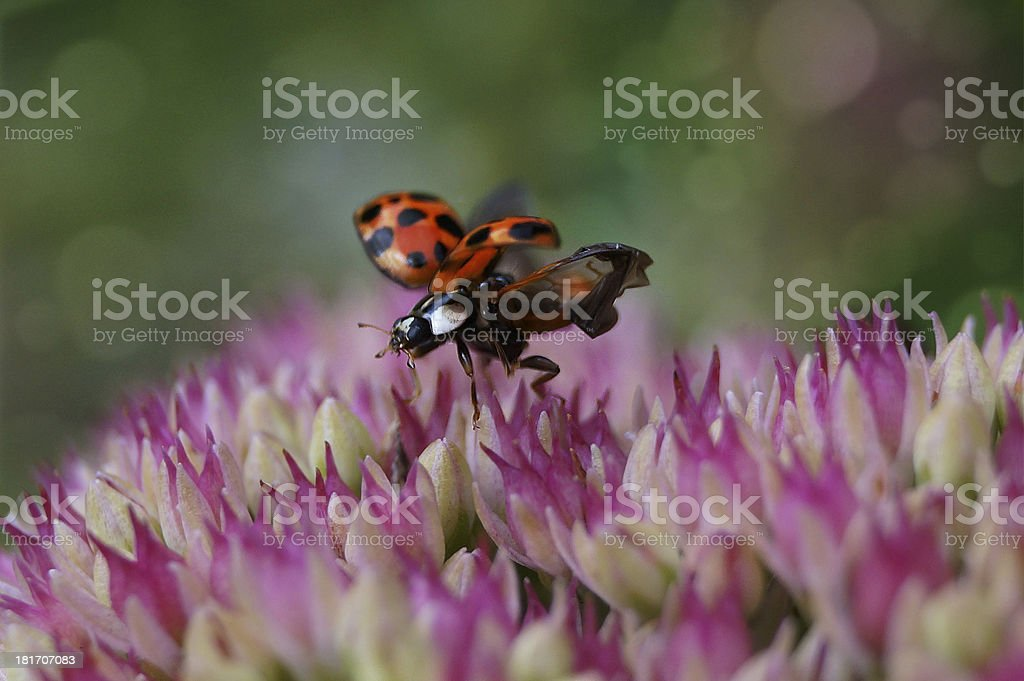 Ladybug flying away from a flower royalty-free stock photo