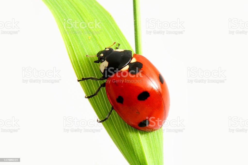 ladybug go up royalty-free stock photo