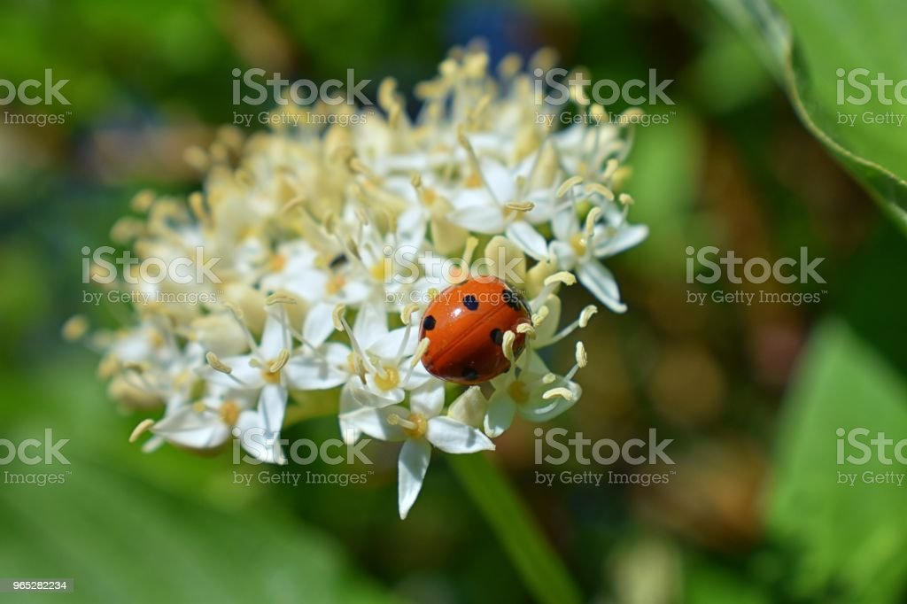 Ladybug (Coccinellidae) hunting aphids, greenfly or blackfly (Aphidoidea) on a Dogwood (Cornus Cornaceae) flower blossom closeup macro view in cottage garden in Utah, USA zbiór zdjęć royalty-free