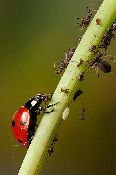 Ladybug hunting aphids A ladybug hunting for the plant parasite aphids aphid stock pictures, royalty-free photos & images