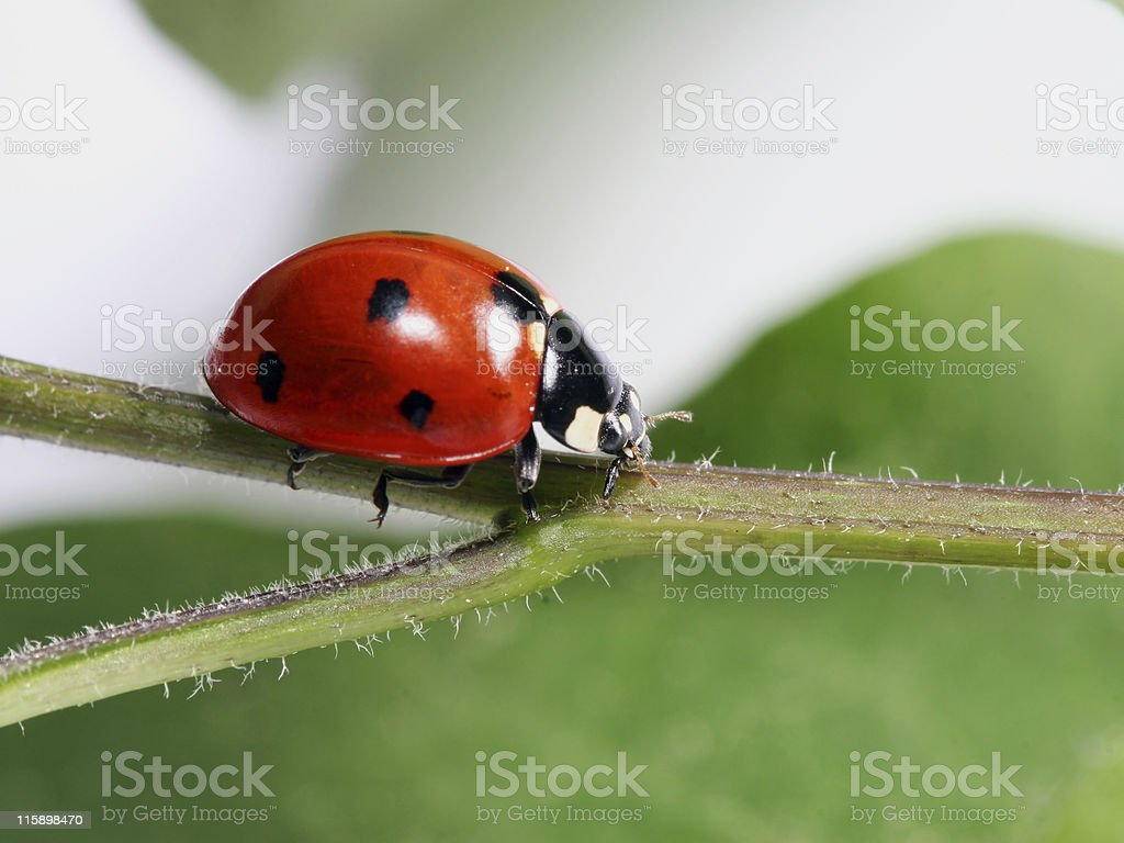 Ladybug in a twig 03 royalty-free stock photo