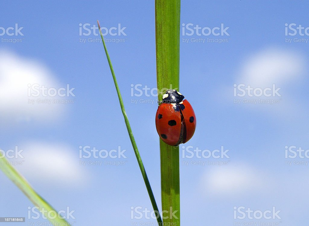 Ladybug in front of a blue sky royalty-free stock photo