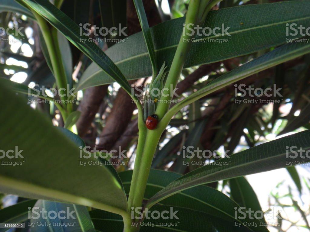 Ladybug in oleander plant stock photo