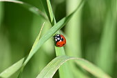 Ladybug in the green grass