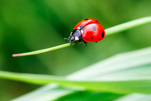 ladybug in the green grass - insect stock pictures, royalty-free photos & images