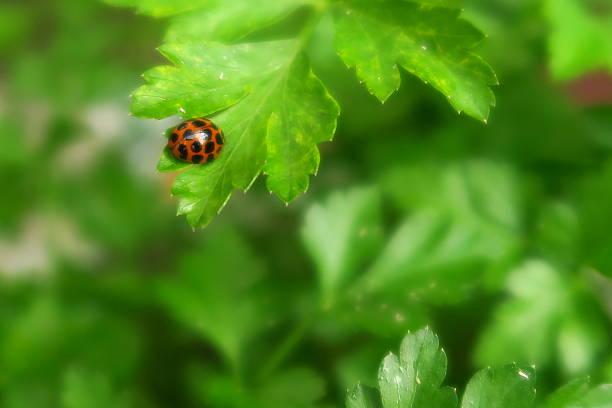 Ladybug in the parsley stock photo