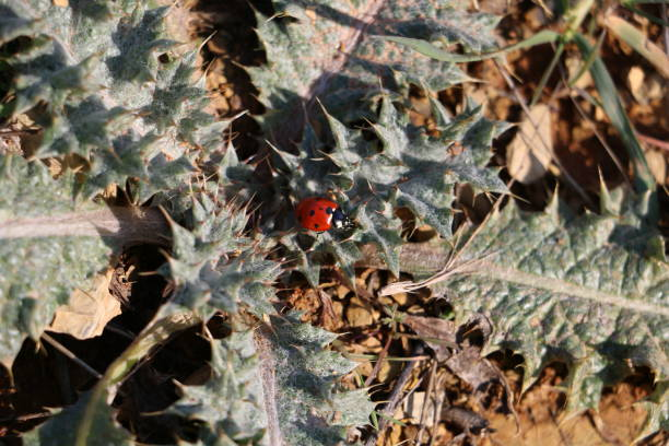 A Ladybug in Thorns stock photo