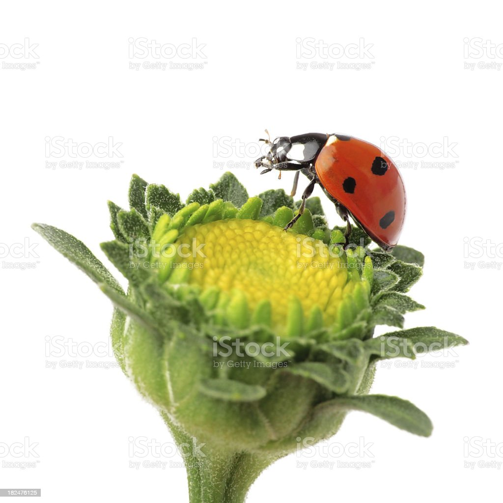 Ladybug Isolated On White royalty-free stock photo