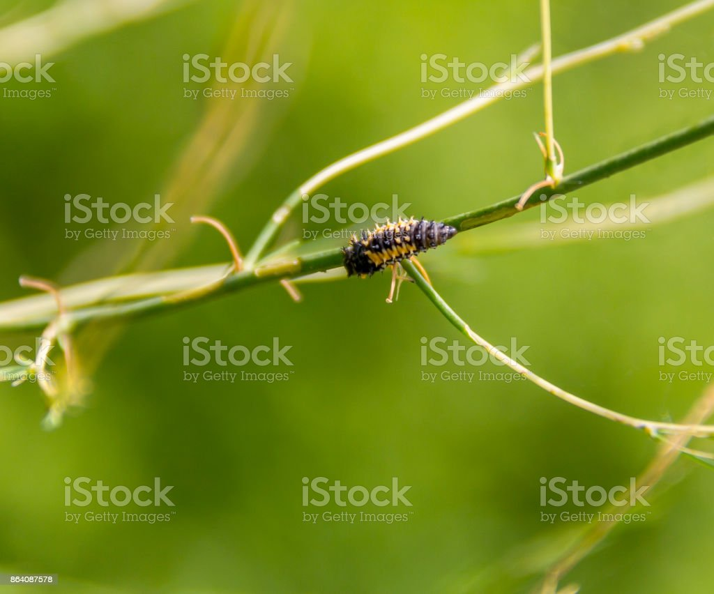 ladybug larva closeup stock photo