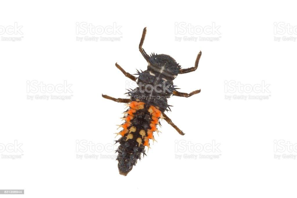 Ladybug larva (Coccinella) on a white background stock photo