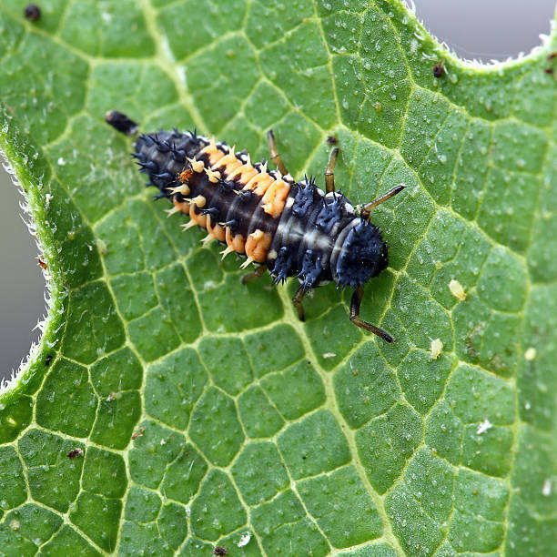 Ladybug Larva stock photo