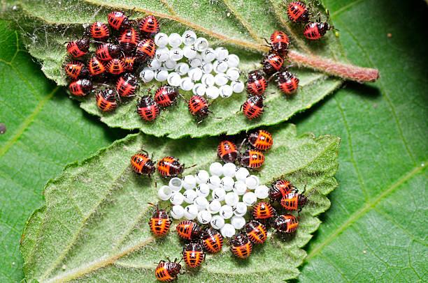 Biedronka larwy i Żółtka jaj – zdjęcie
