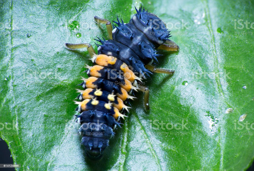 Ladybug Larvae Closeup stock photo