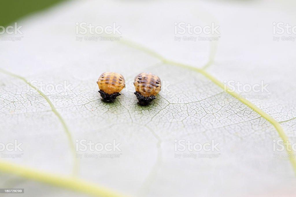 ladybug larvae royalty-free stock photo