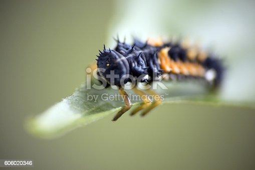 Ladybug Larvae feeding on phids on a pepper plant.