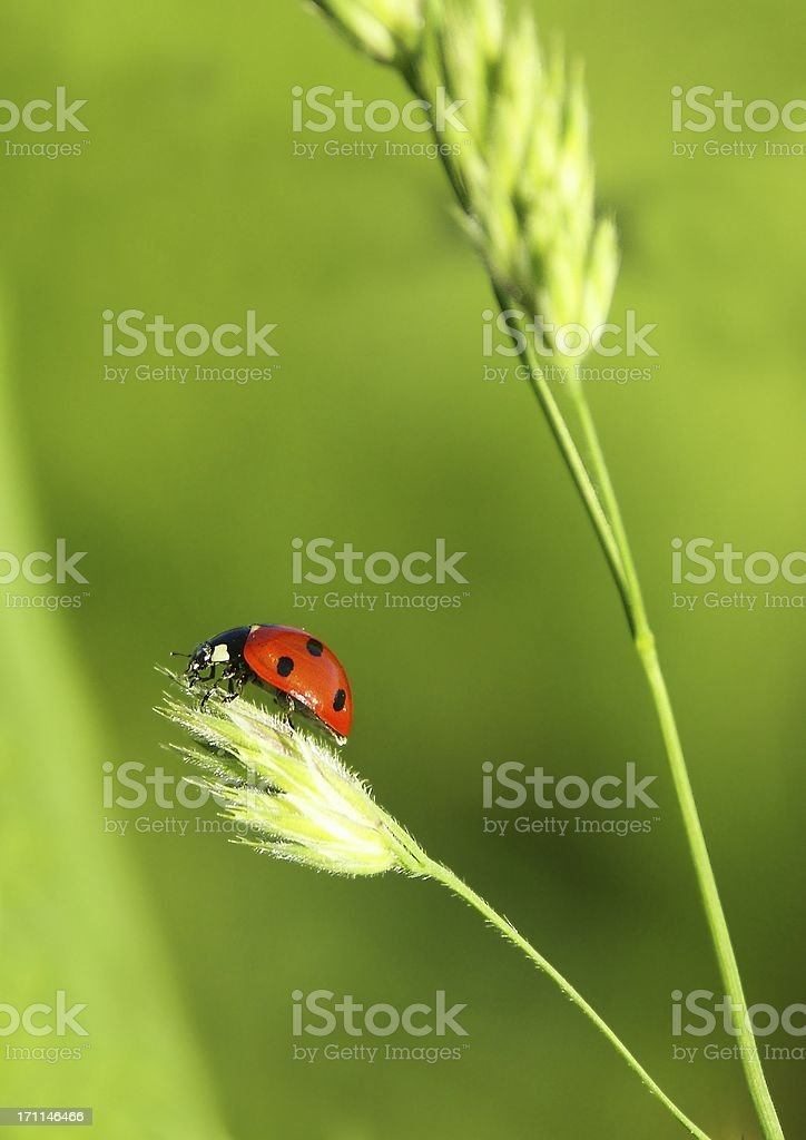 Ladybug on a blade of grass royalty-free stock photo