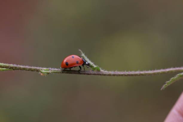 A ladybug on a branch stock photo