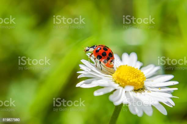 Photo of ladybug on a daisy flower close up