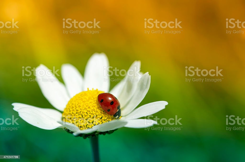 Ladybug on a daisy royalty-free stock photo