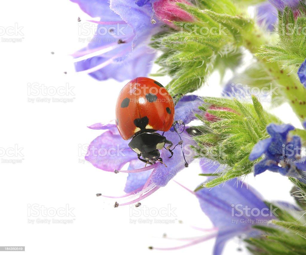ladybug on a flower royalty-free stock photo