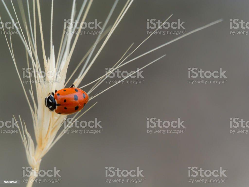 Ladybug on a Gray Background stock photo