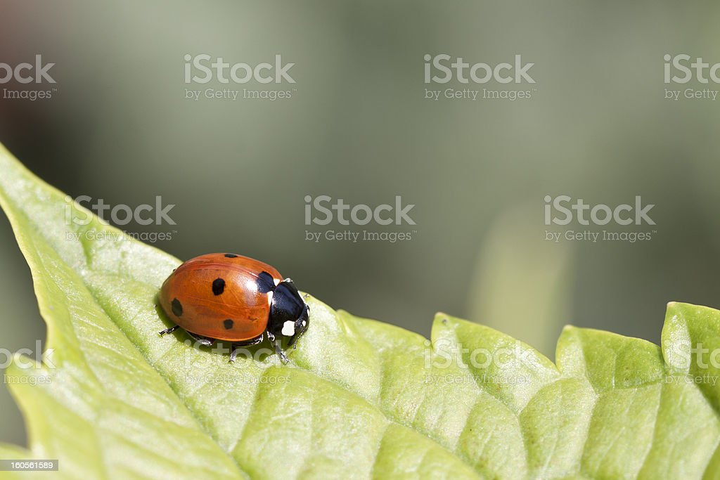 ladybug on a green leaf stock photo