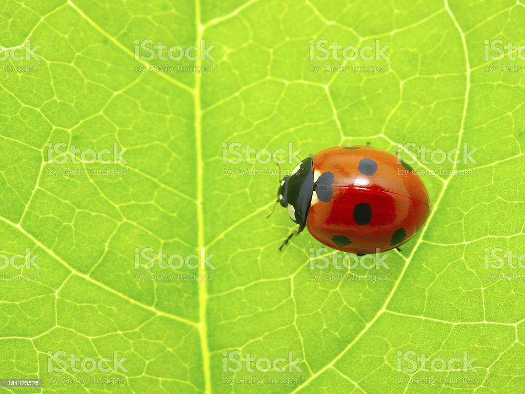 ladybug on a green leaf royalty-free stock photo