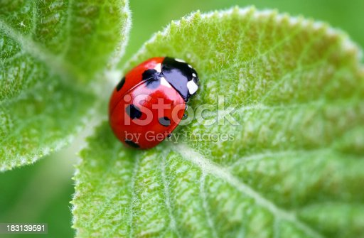 A beautiful ladybug on a leaf. The picture has a lot of space for text.